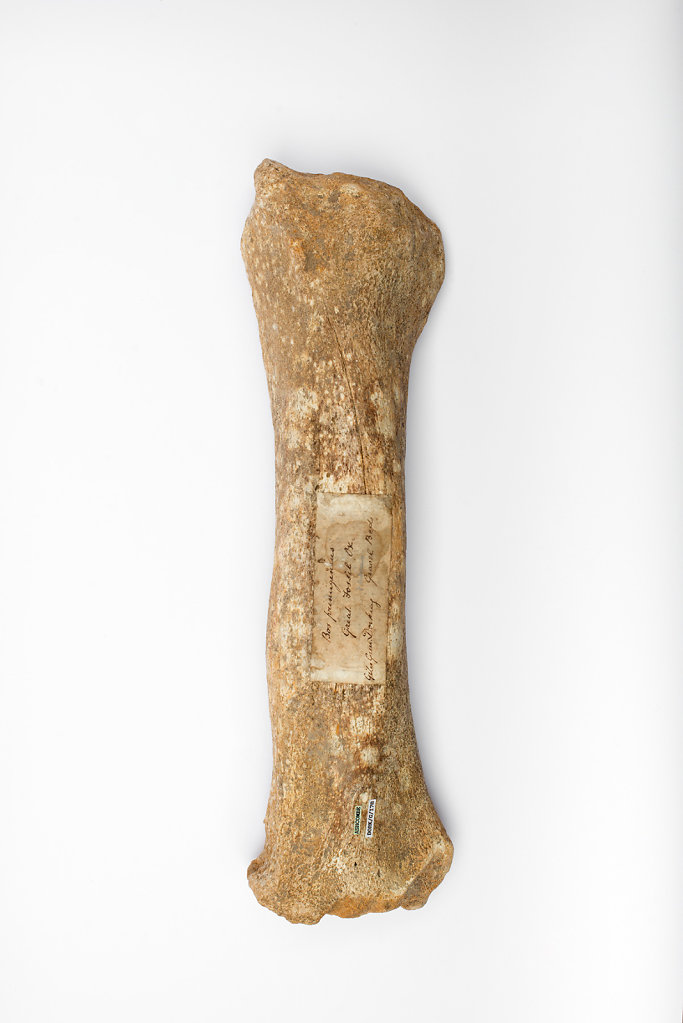 Great Auroch front leg bone photographed at The Dorking Museum